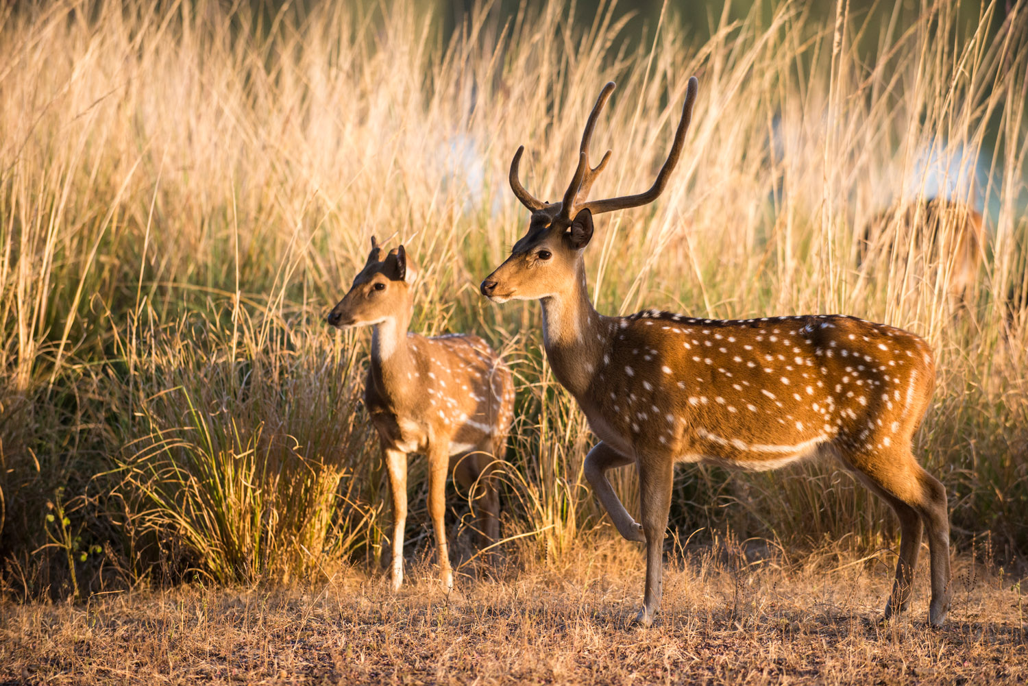 Chital/spotted deer buck with young, Ranthambhore National Park, Rajasthan, India