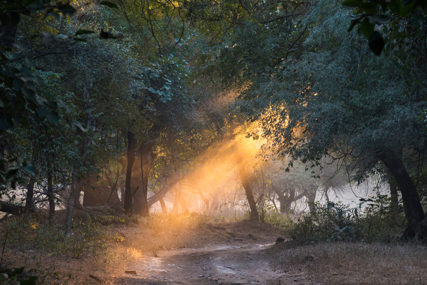 Evening sun rays falling on forest track, Ranthambhore National Park, Rajasthan, India