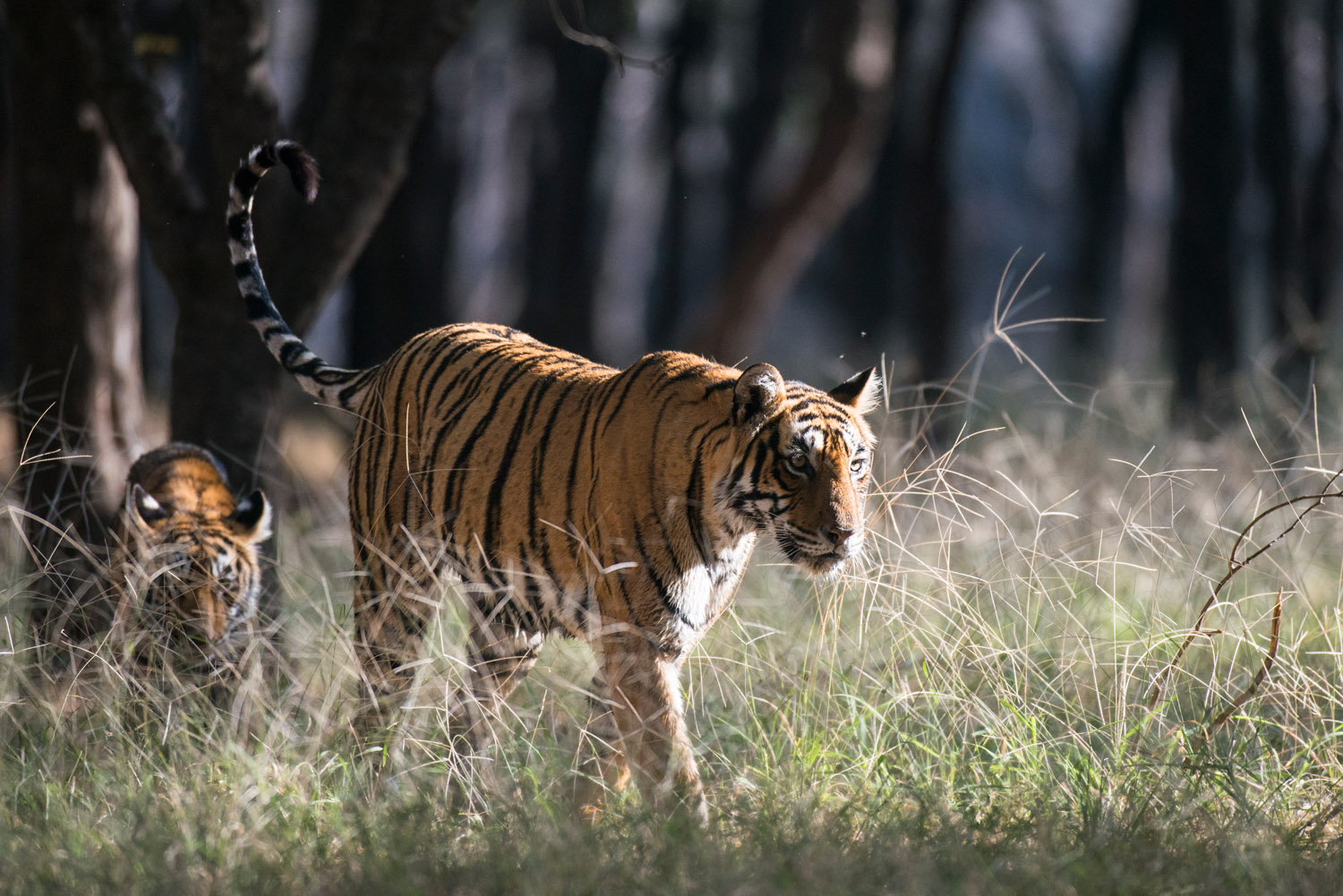 Bengal tiger mother on the move with cub, Ranthambhore National Park, Rajasthan, India