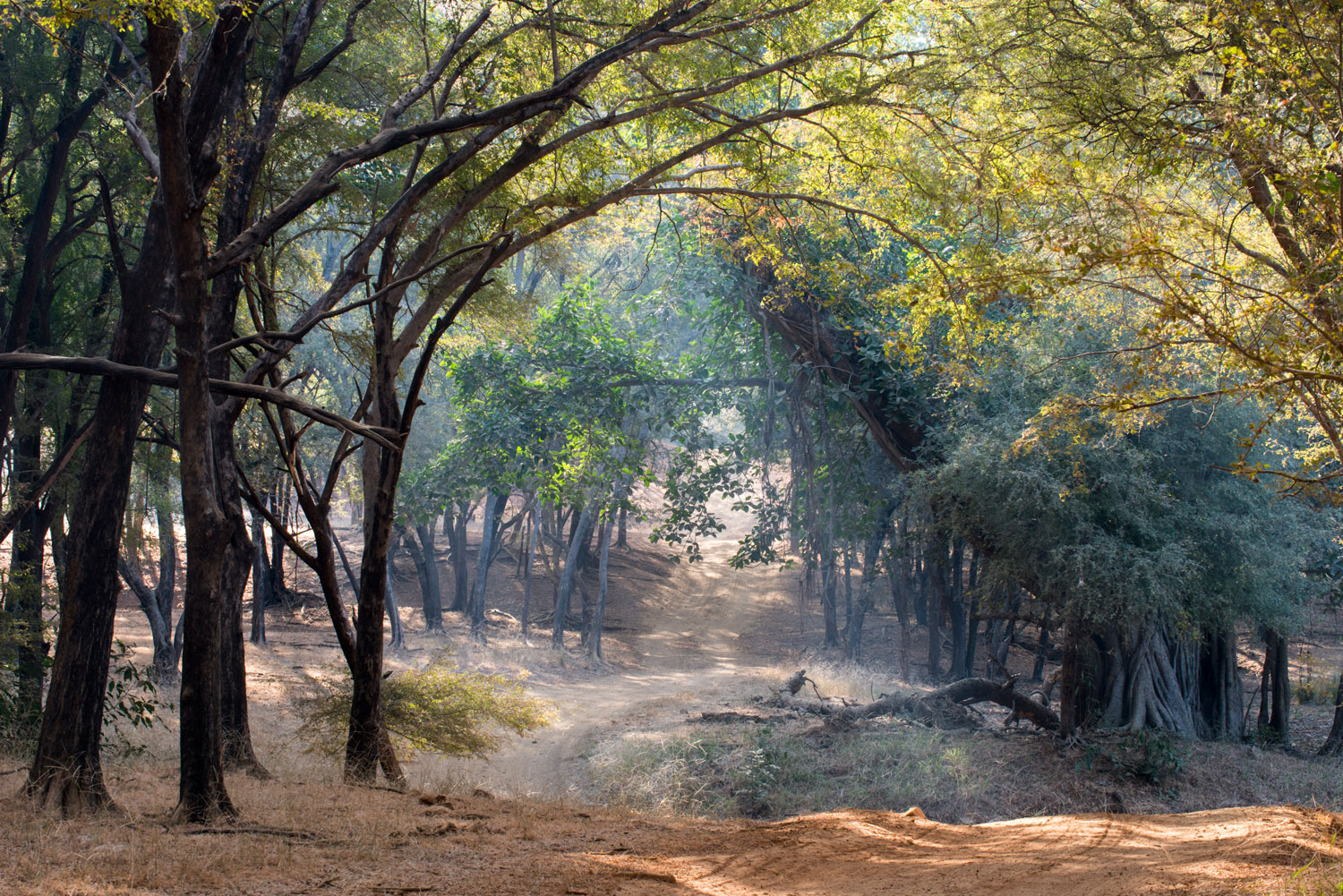 Track through Bengal tiger forest, Ranthambhore National Park, Rajasthan, India