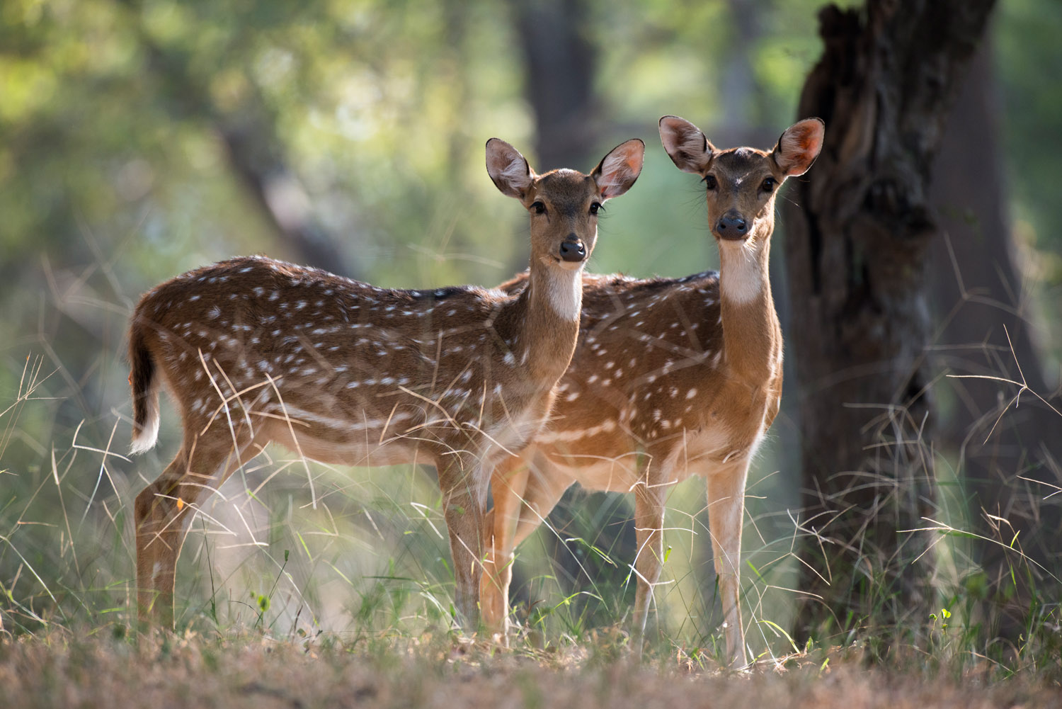 Chital/spotted deer on alert, Ranthambhore National Park, Rajasthan, India