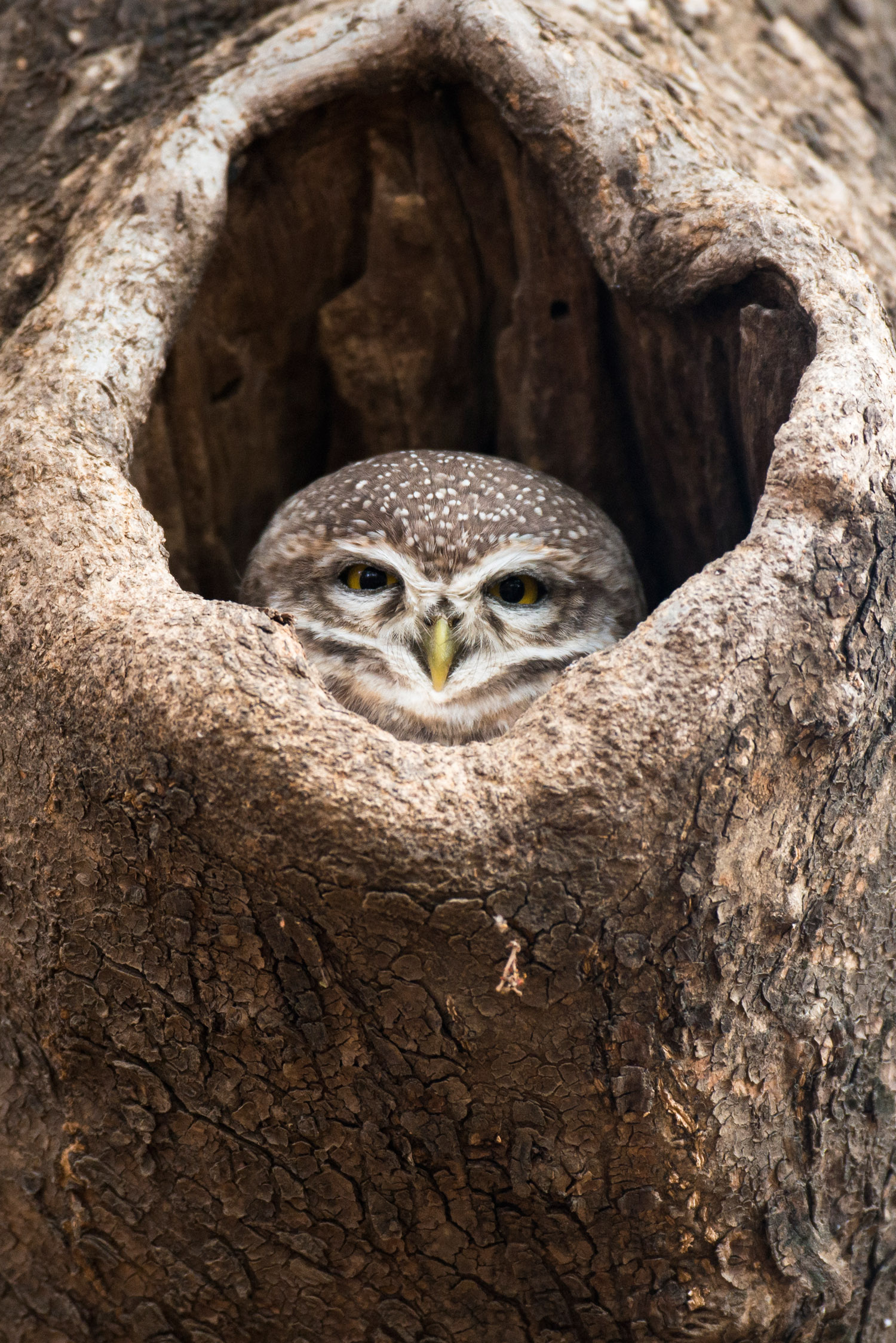 Spotted owlet in tree hollow, Ranthambhore National Park, Rajasthan, India