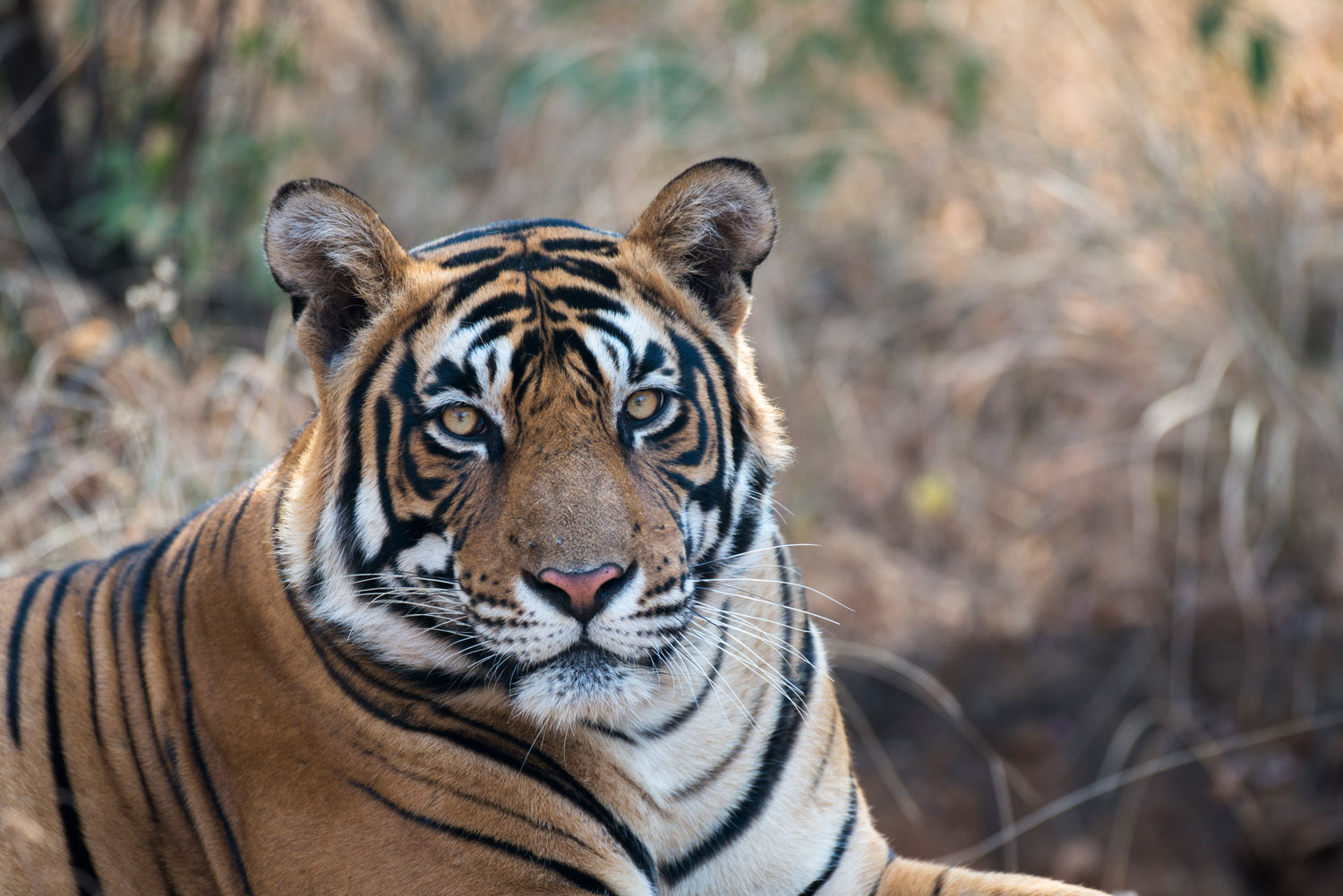 Bengal tiger portrait, Ranthambhore National Park, Rajasthan, India