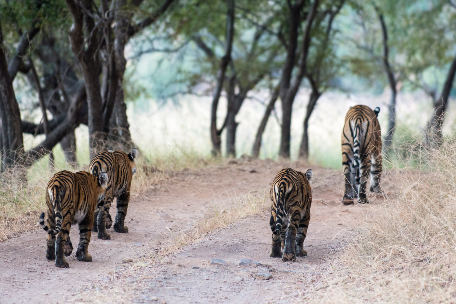 Bengal tiger family walking along track, Ranthambhore National Park, Rajasthan, India