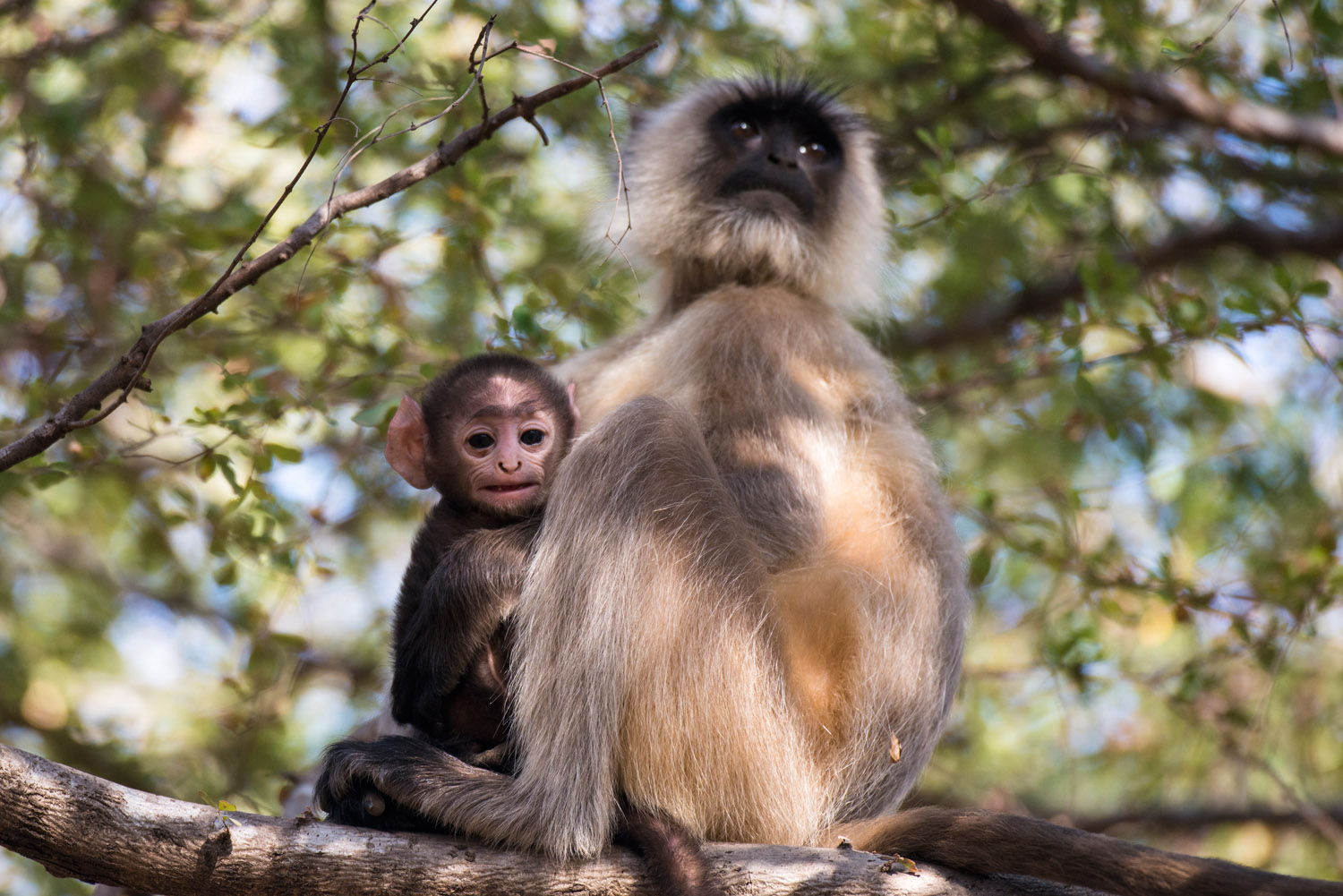 Hanuman langur monkey mother with baby, Ranthambhore National Park, Rajasthan, India