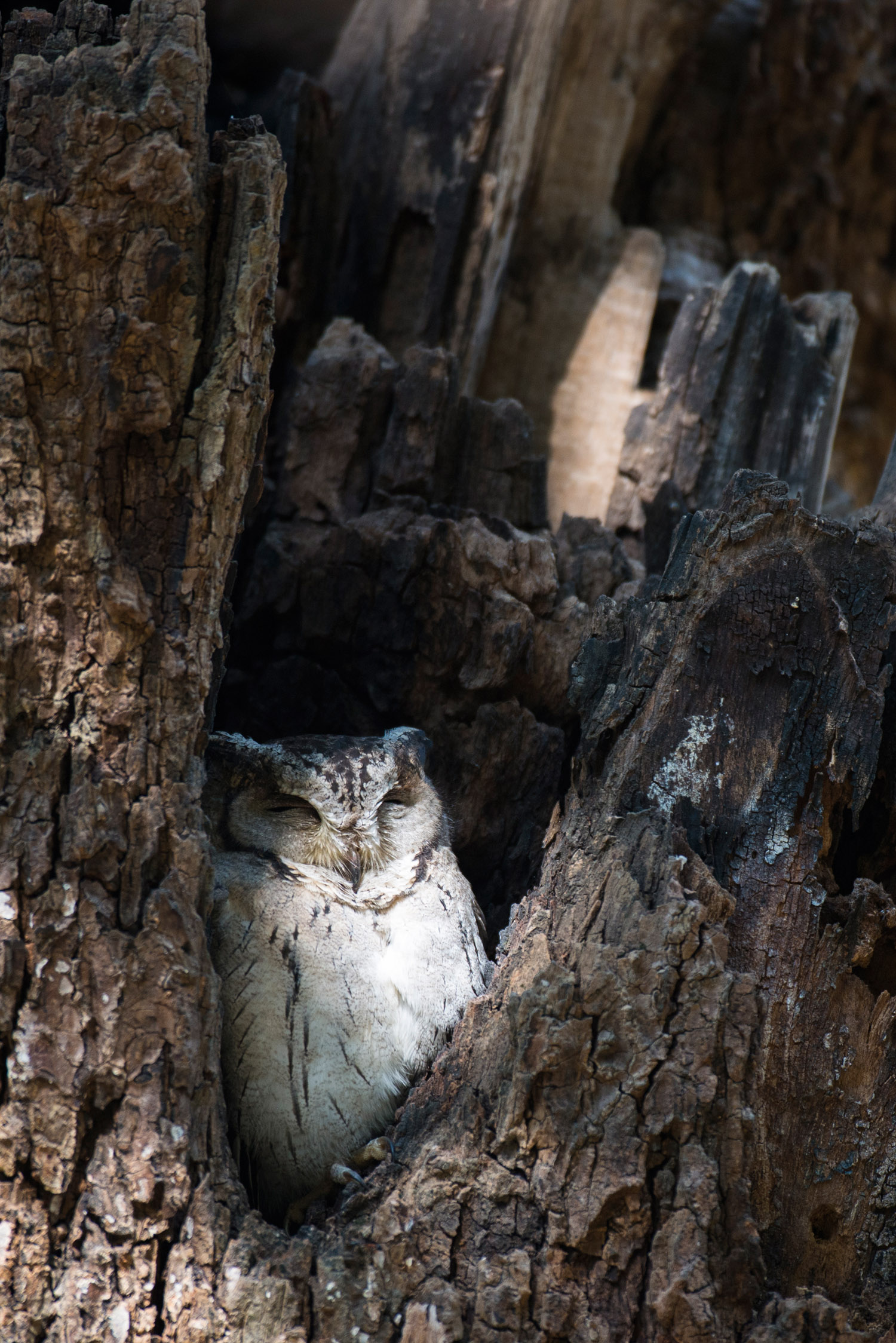 Indian scops owl sleeping in tree hollow, Ranthambhore National Park, Rajasthan, India