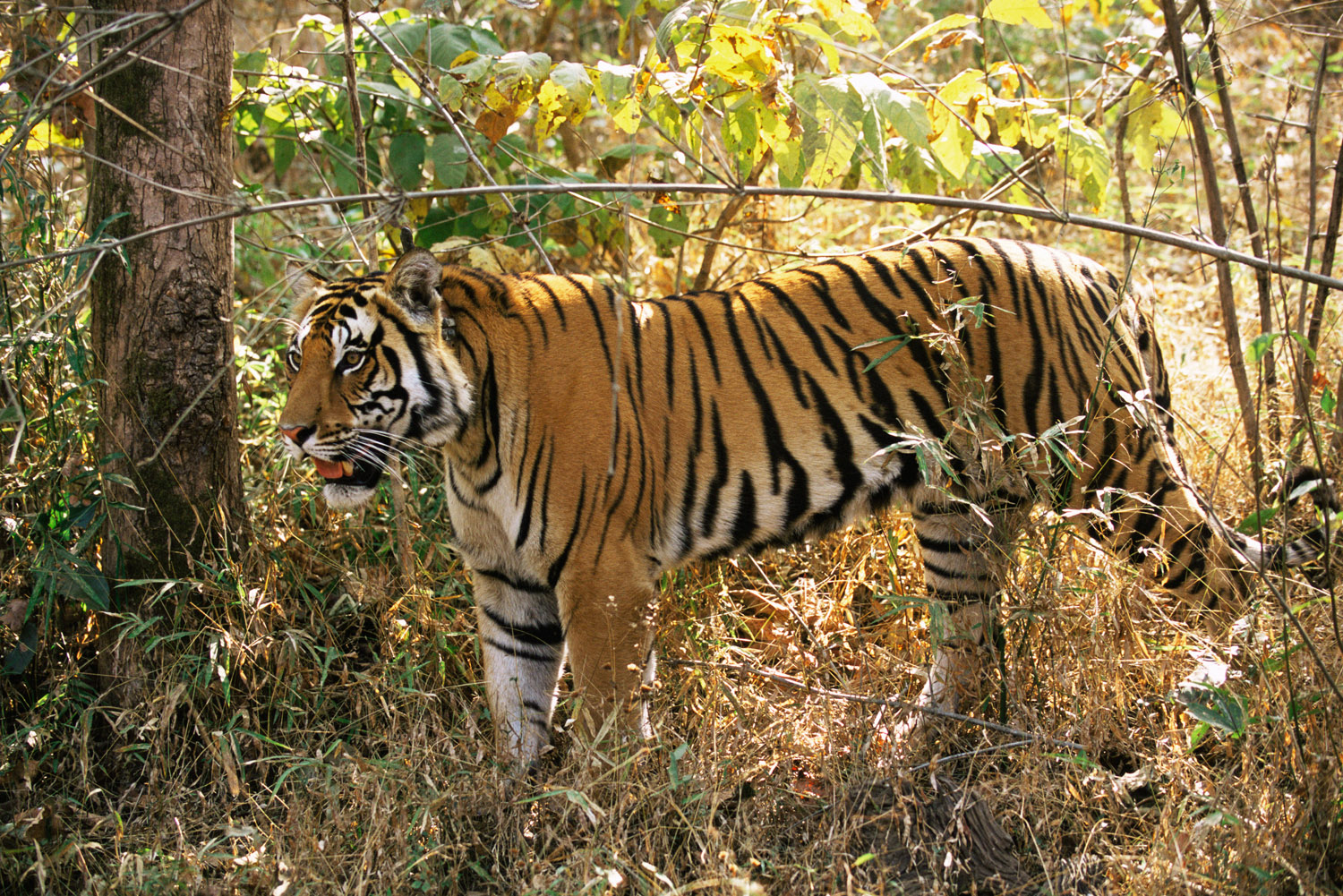Bengal tiger (with radio collar) in forest, Kanha Tiger Reserve, Madhya Pradesh, India