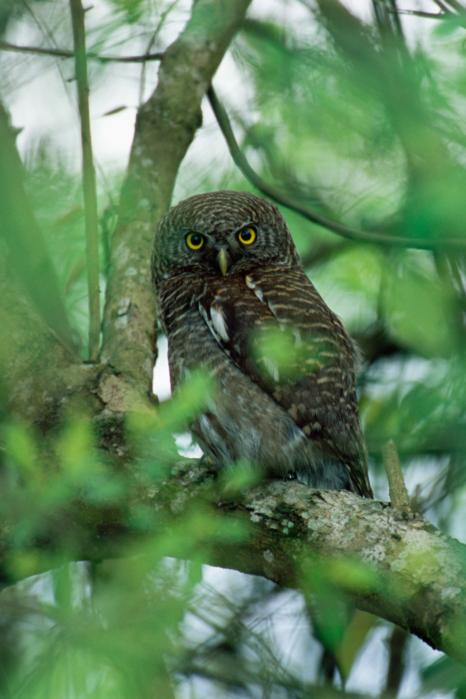Asian barred owlet, Kaziranga National Park, Assam, India