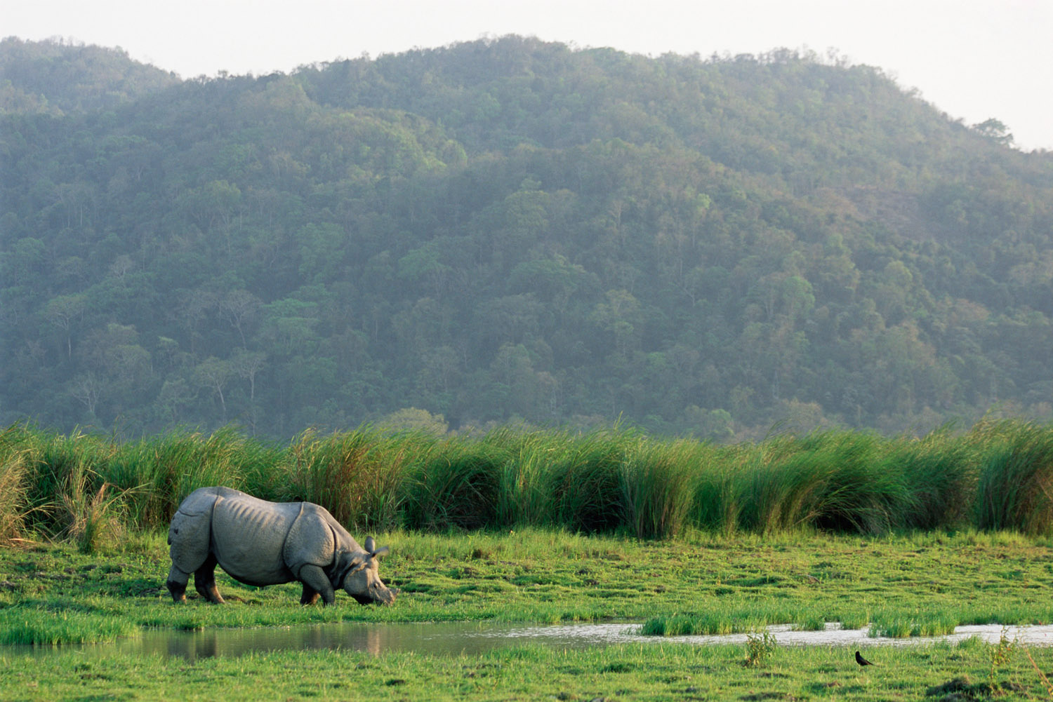 Indian rhinoceros grazing, Kaziranga National Park, Assam, India