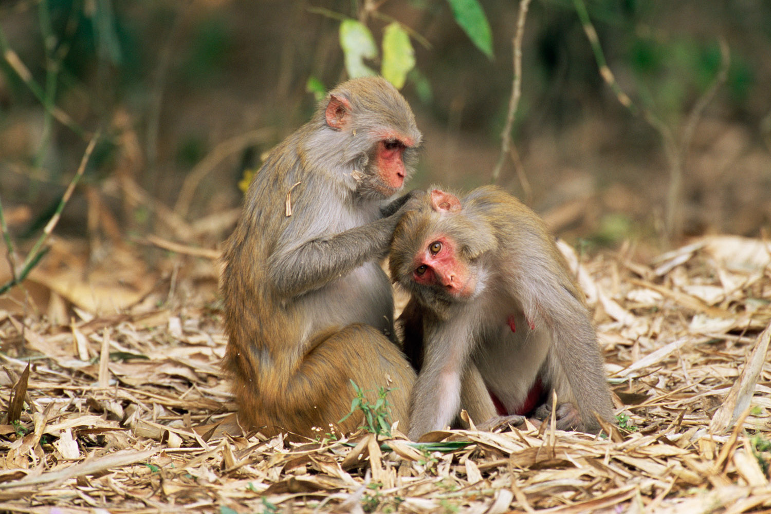 Rhesus macaques grooming, Kaziranga National Park, Assam, India