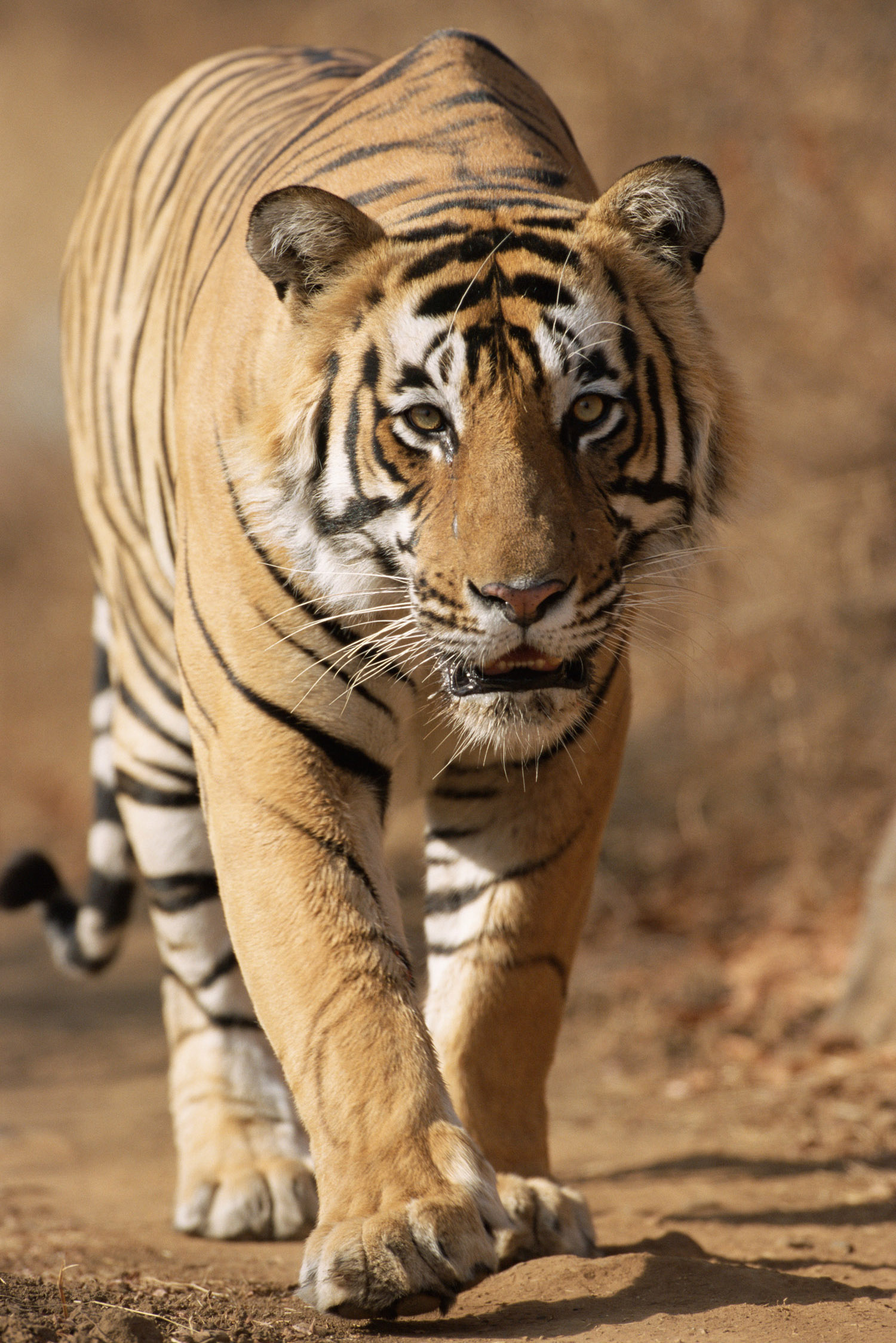 Bengal tiger approaching, Ranthambhore National Park, Rajasthan, India
