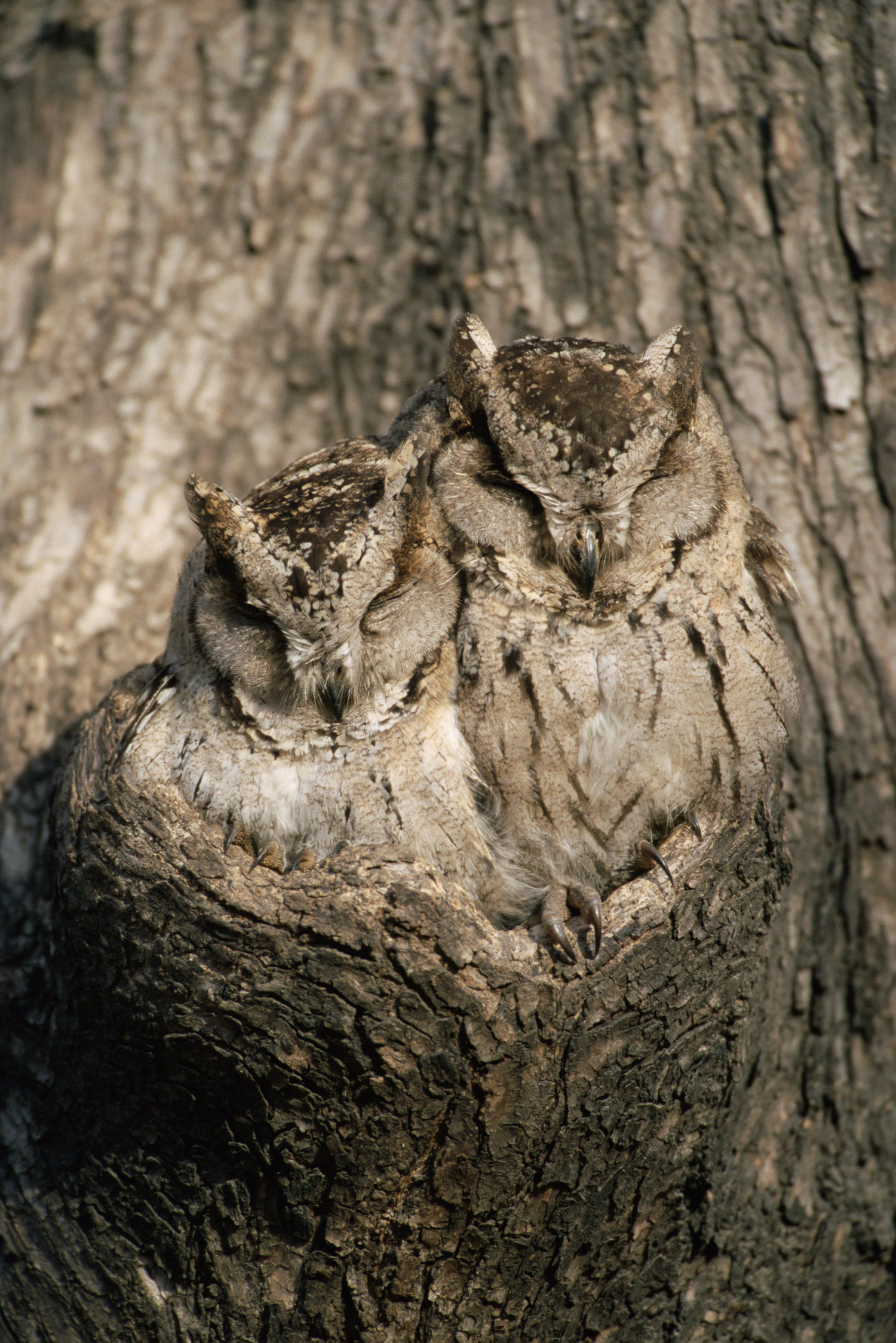 Indian scops owls sleeping in tree hollow, Ranthambhore National Park, Rajasthan, India