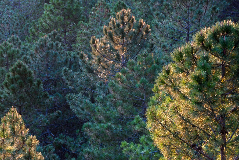 Stone pines (Pinus pinea) 'glowing' at dawn, Sierra de Grazalema Natural Park, Andalucía, Spain