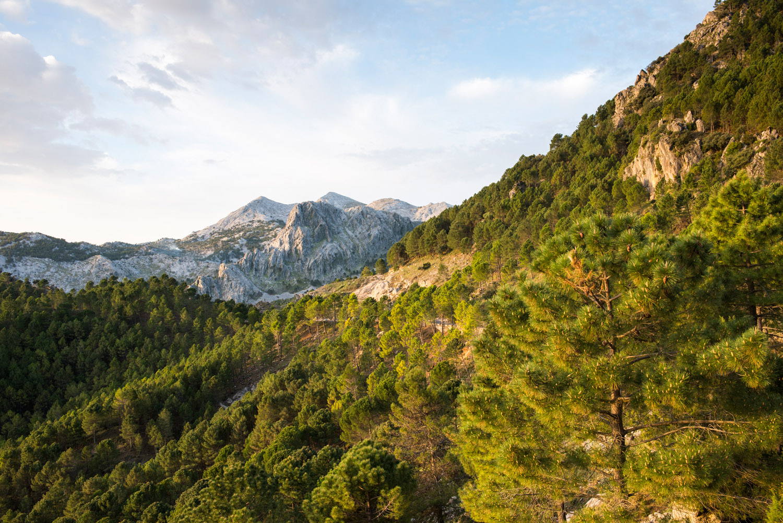 Stone pine forest (Pinus pinea) and Peñón Grande at dawn, Sierra de Grazalema Natural Park, Andalucía, Spain