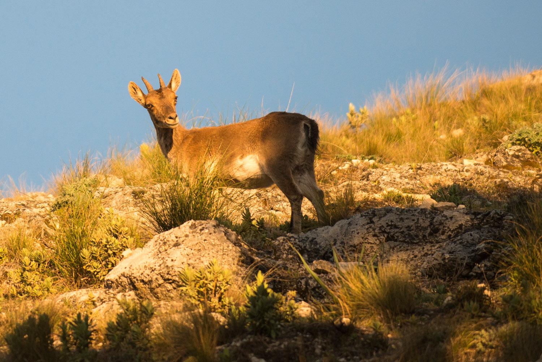 Spanish ibex near Puerto de las Palomas at dawn, Sierra de Grazalema Natural Park, Andalucía, Spain