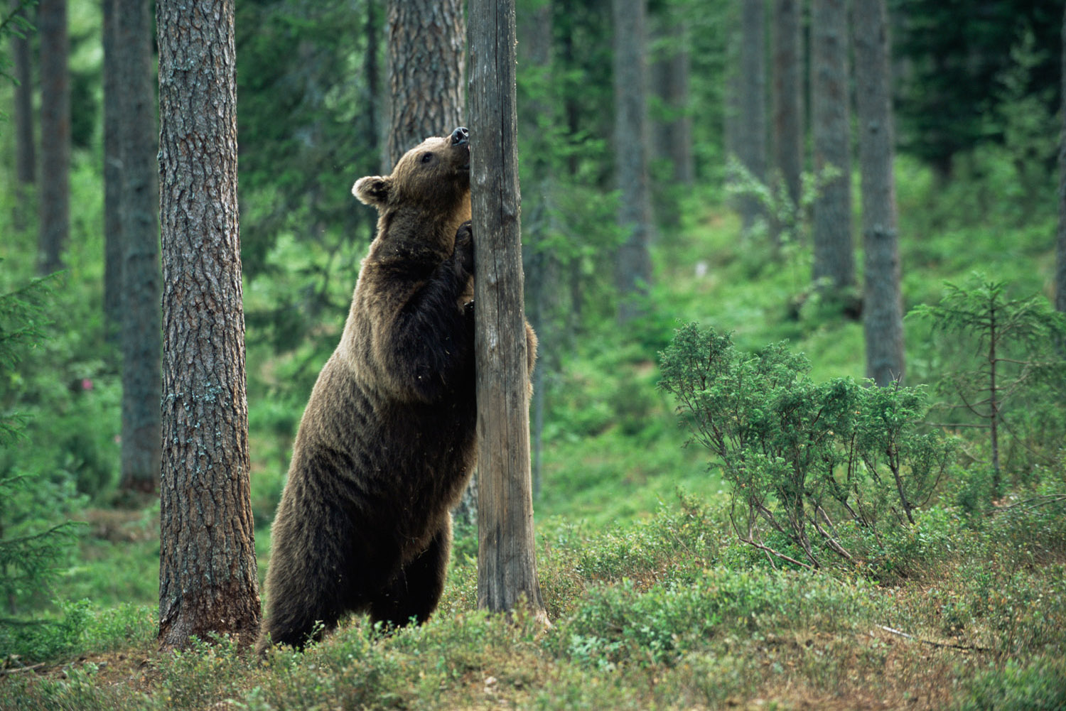 Brown bear inspecting tree trunk, Suomussalmi, Finland