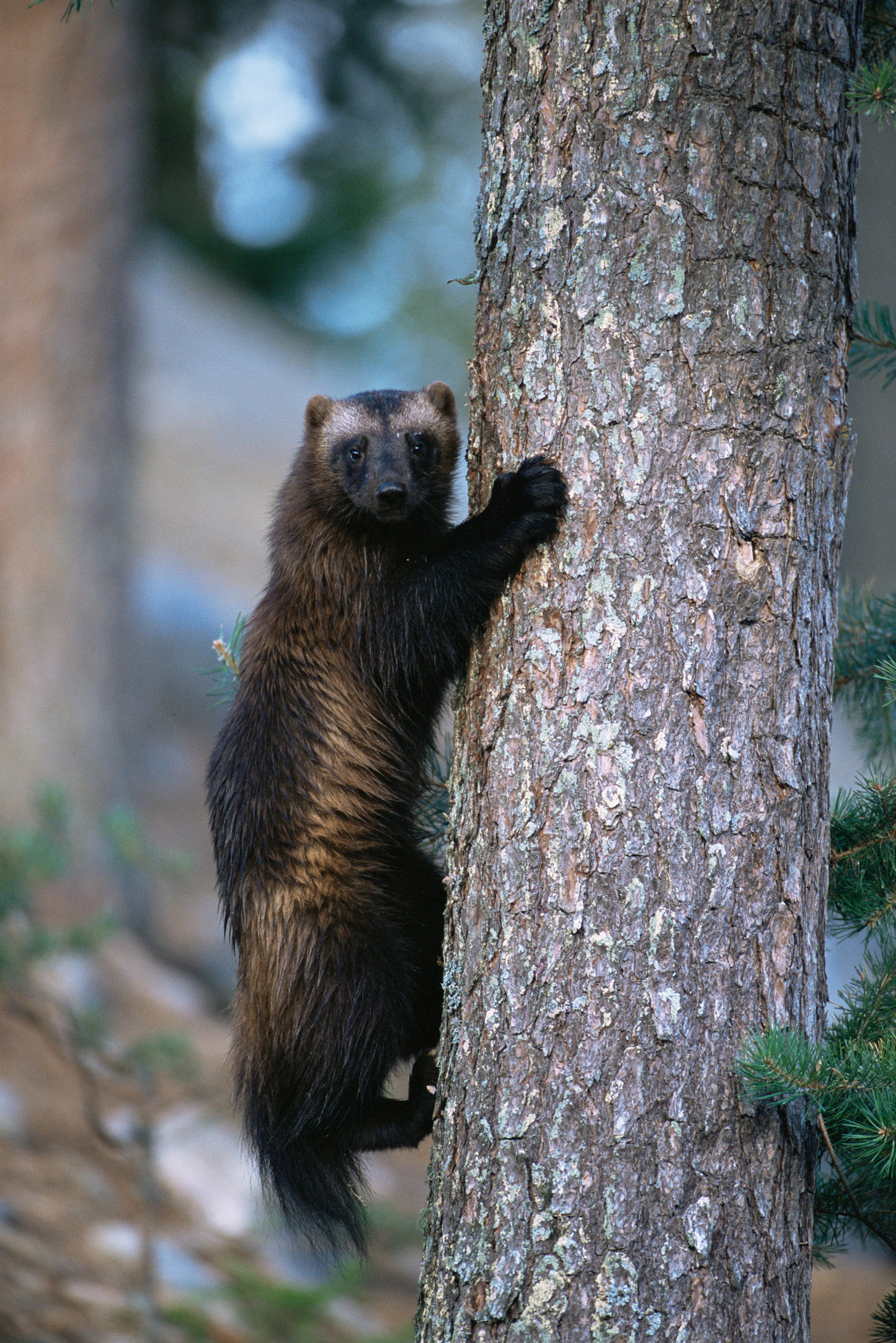 Wolverine climbing tree, Lieska, Finland