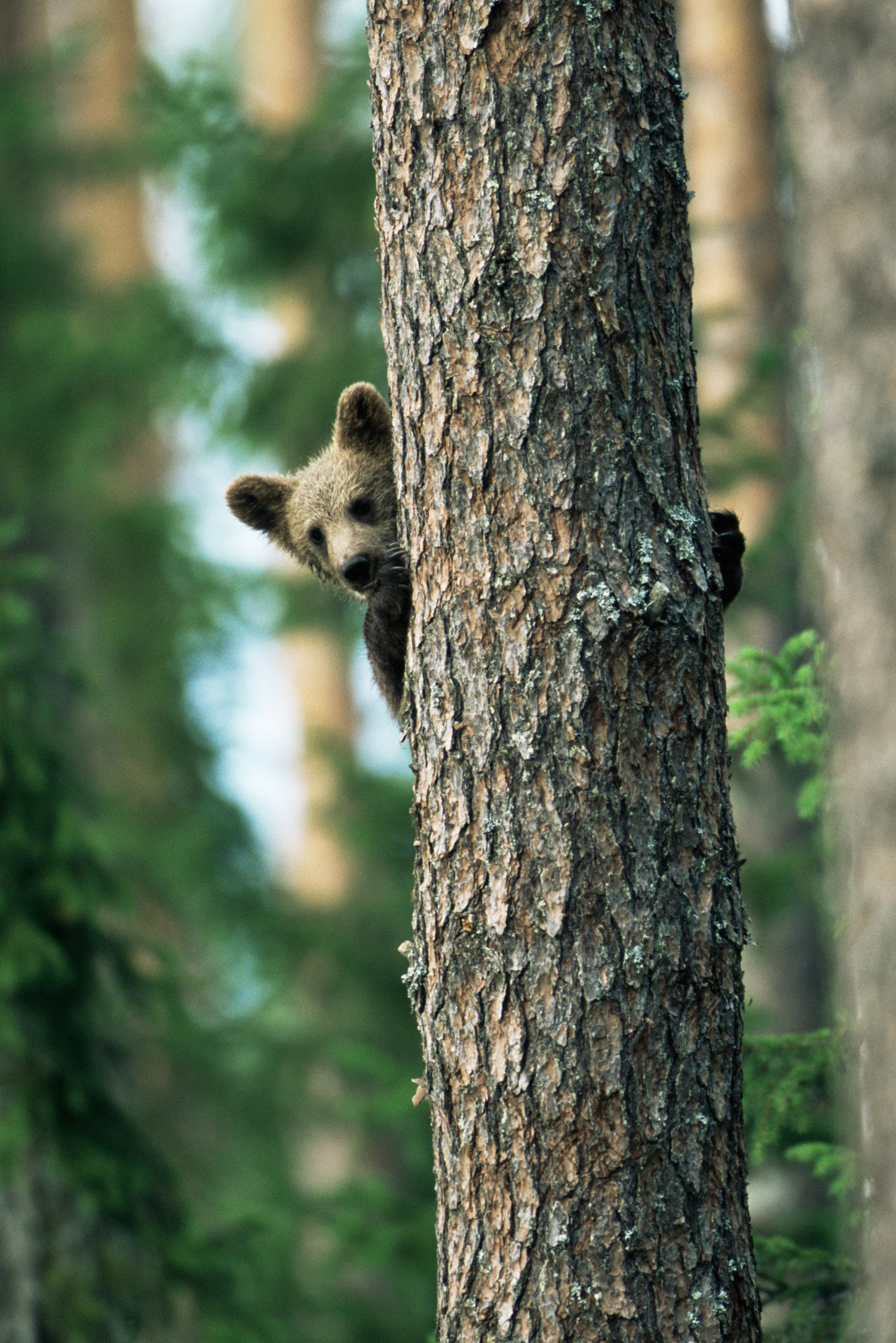Brown bear cub in tree, Suomussalmi, Finland