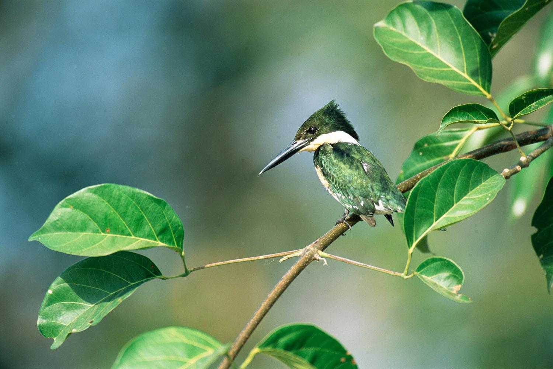 Green kingfisher, Pantanal, Mato Grosso, Brazil