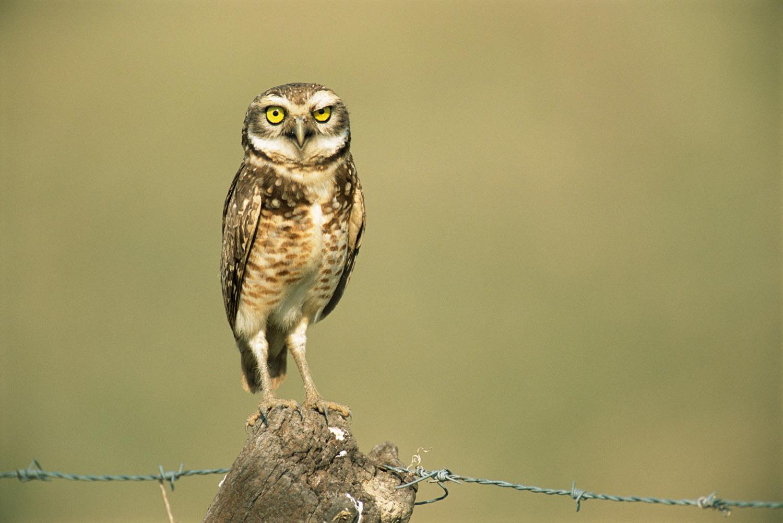 Burrowing owl on fence post, Pantanal, Mato Grosso, Brazil