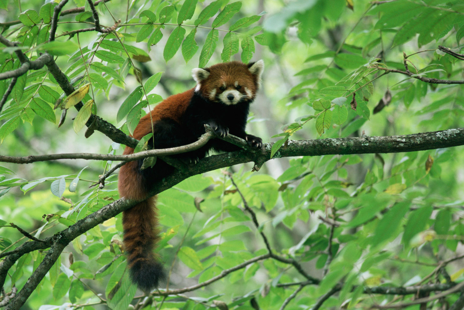 Red panda (captive) in tree, Wolong National Nature Reserve, Sichuan, China