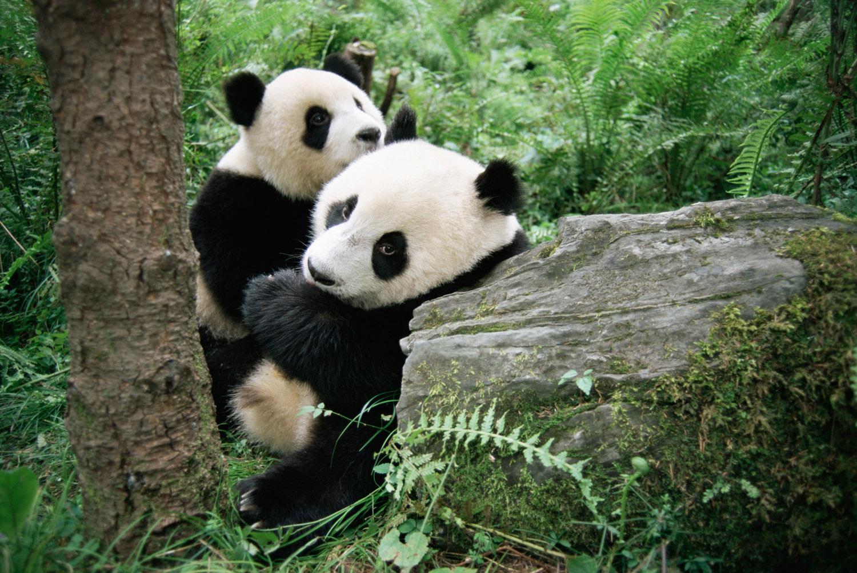 Giant panda cubs (captive), Wolong National Nature Reserve, Sichuan, China