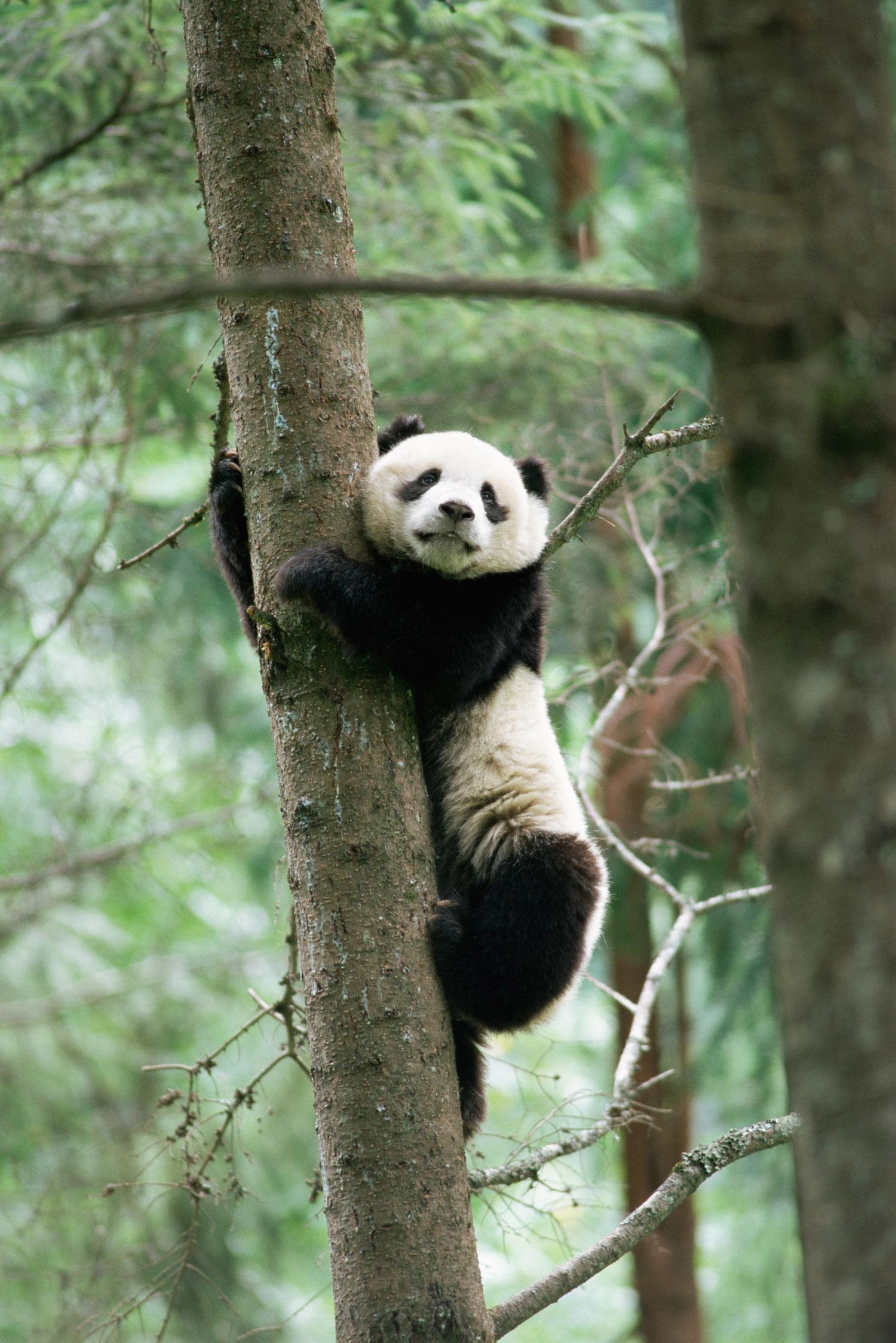 Giant panda cub (captive) climbing pine tree, Wolong National Nature Reserve, Sichuan, China
