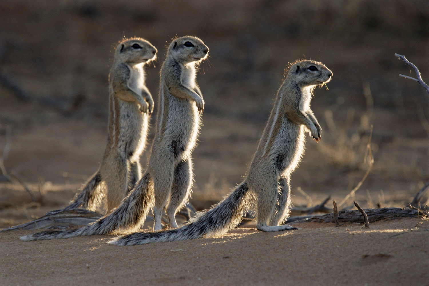 South African ground squirrels at last light, Kgalagadi Transfrontier Park, South Africa