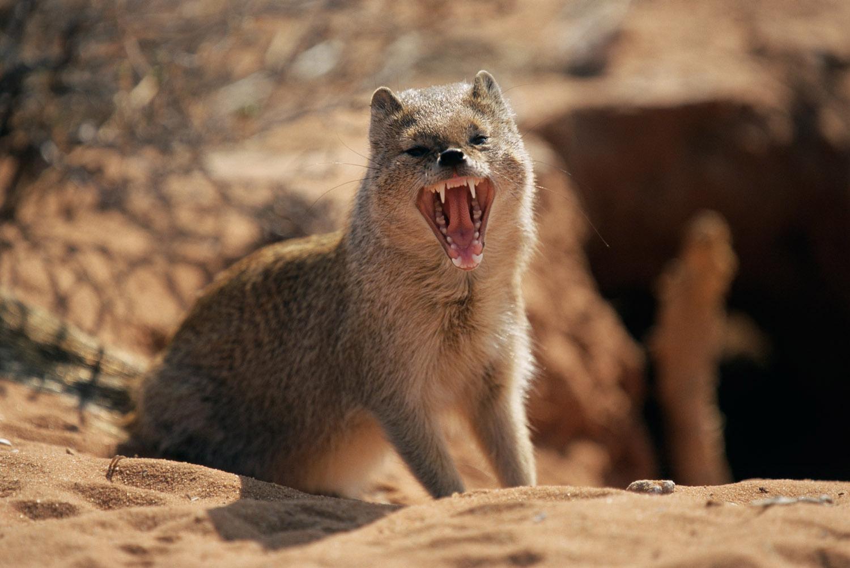 Yellow mongoose yawning, Kgalagadi Transfrontier Park, South Africa