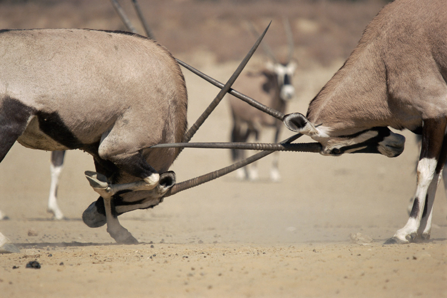 Gemsbok sparring, Kgalagadi Transfrontier Park, South Africa