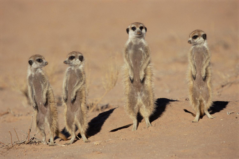 Meerkats on alert, Kgalagadi Transfrontier Park, South Africa