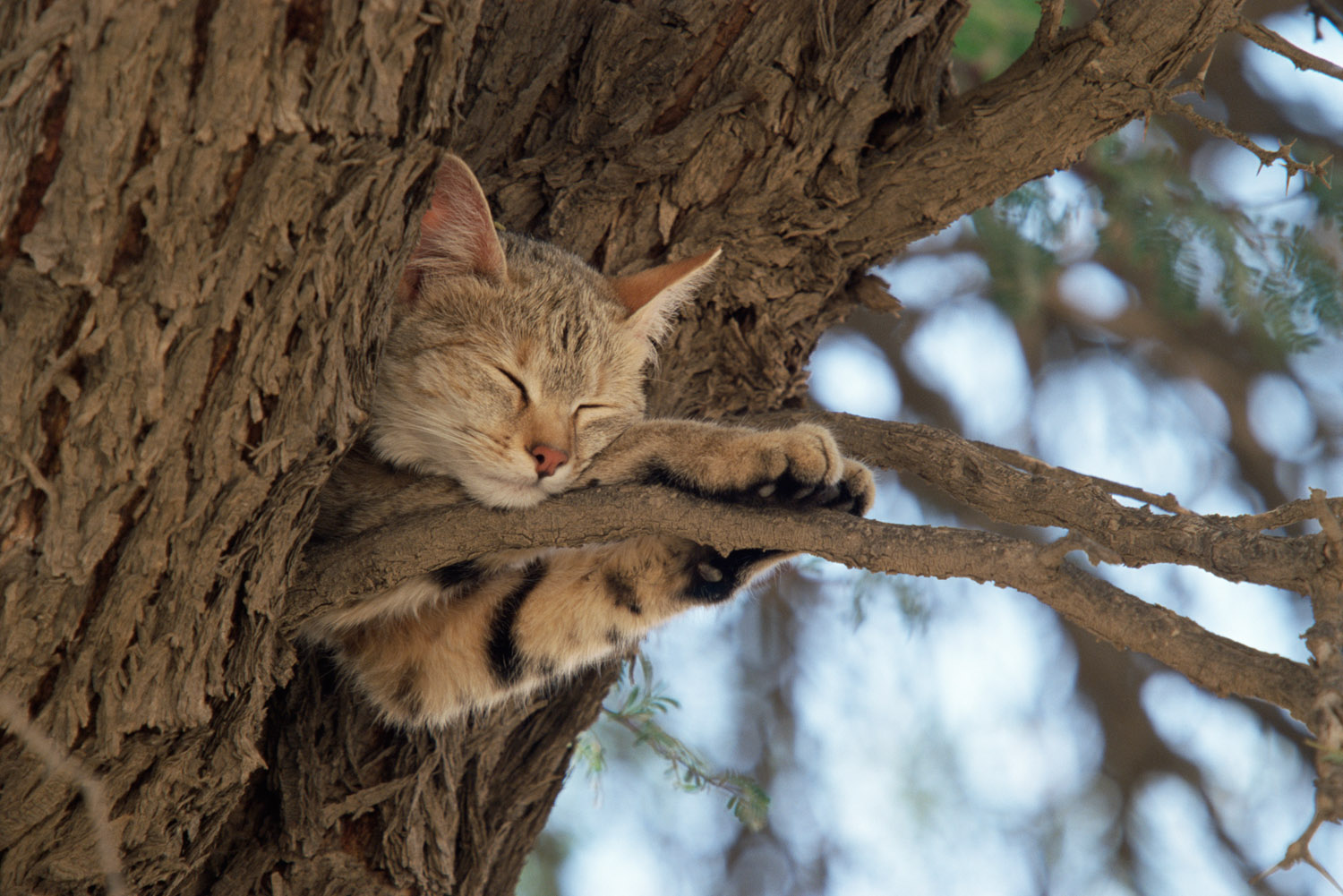 African wild cat sleeping in camelthorn tree, , Kgalagadi Transfrontier Park, South Africa