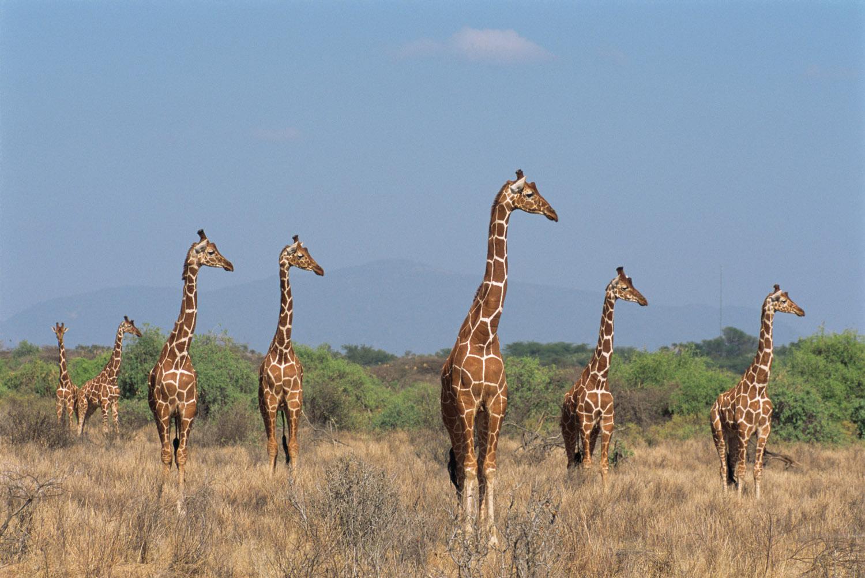 5. Reticulated giraffes on alert, Samburu National Reserve, Kenya