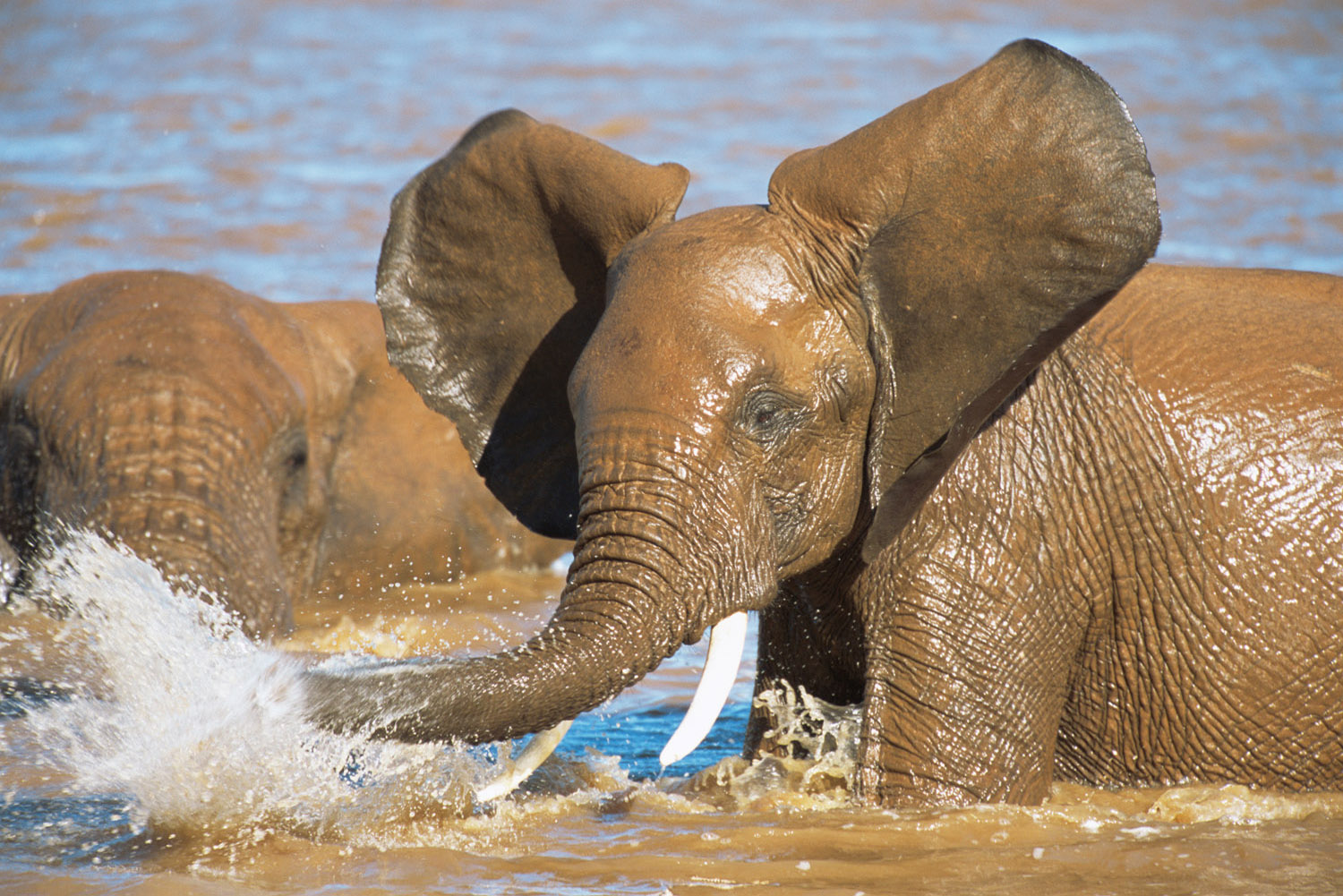 African elephant bathing in Uaso Nyiro River, Samburu National Reserve, Kenya