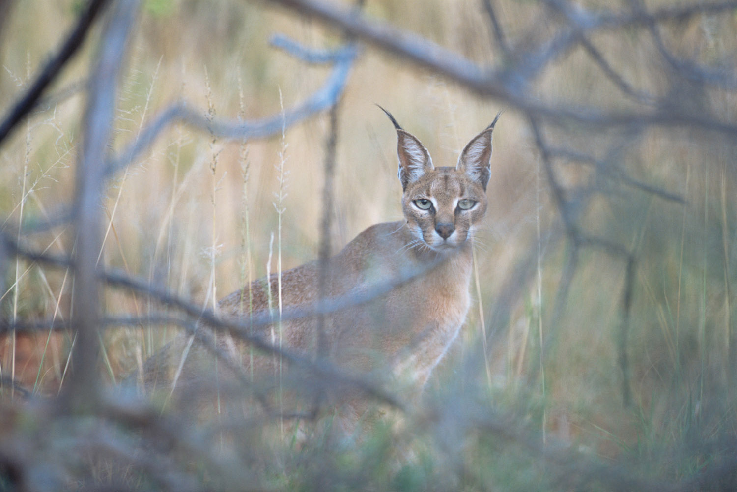 Caracal at dusk, Samburu National Reserve, Kenya