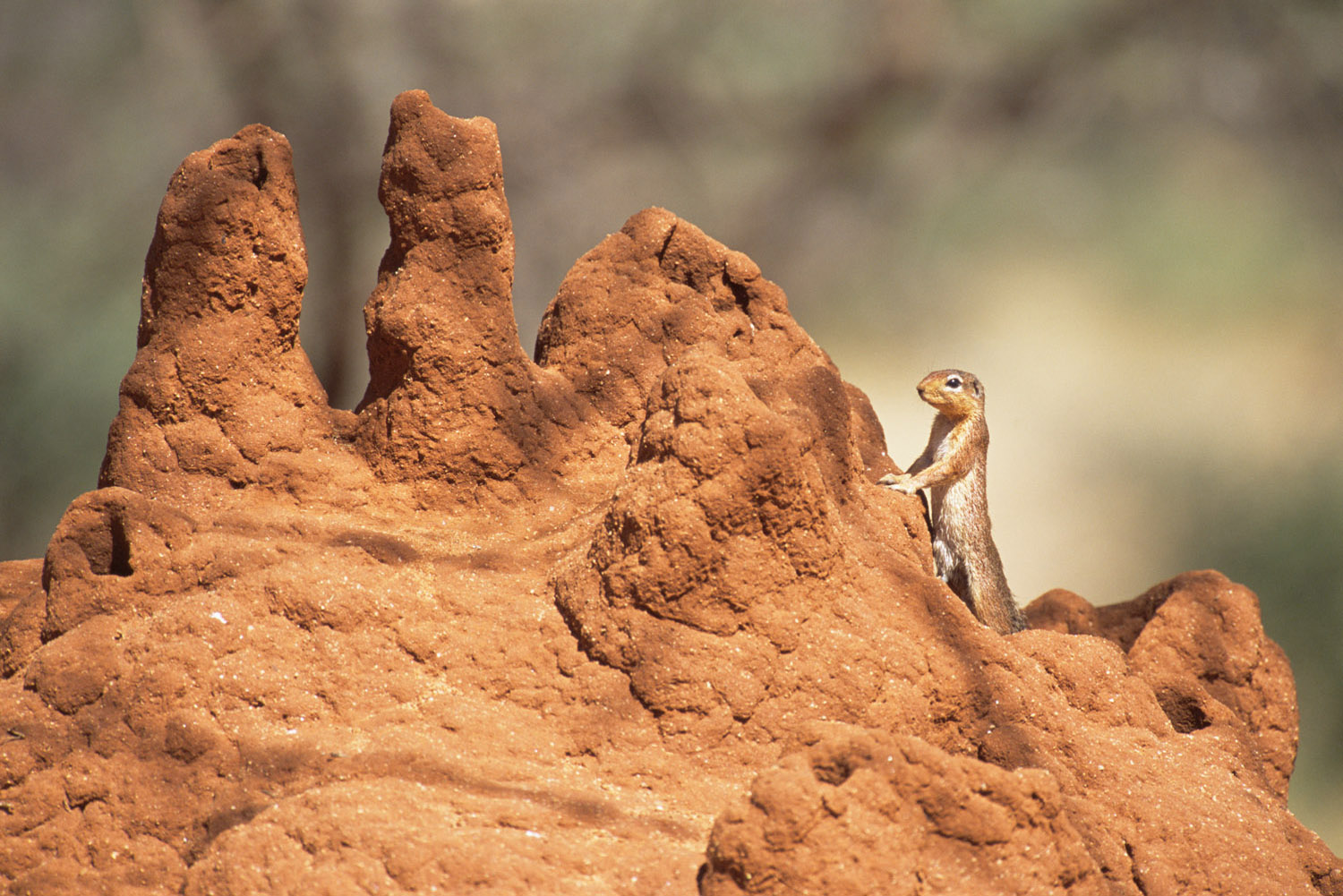 Striped ground squirrel on termite hill, Samburu National Reserve, Kenya