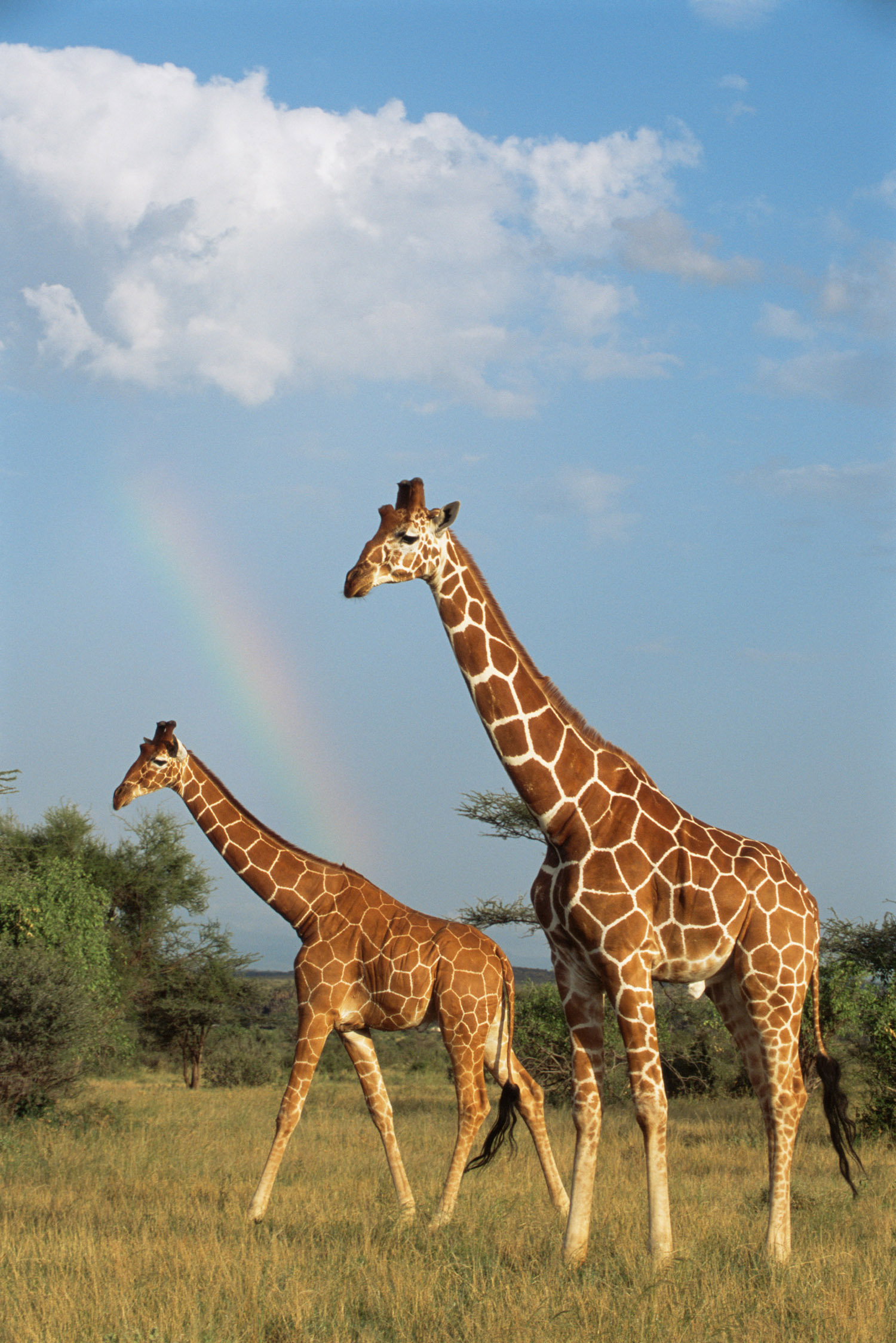 Reticulated giraffes and rainbow, Samburu National Reserve, Kenya