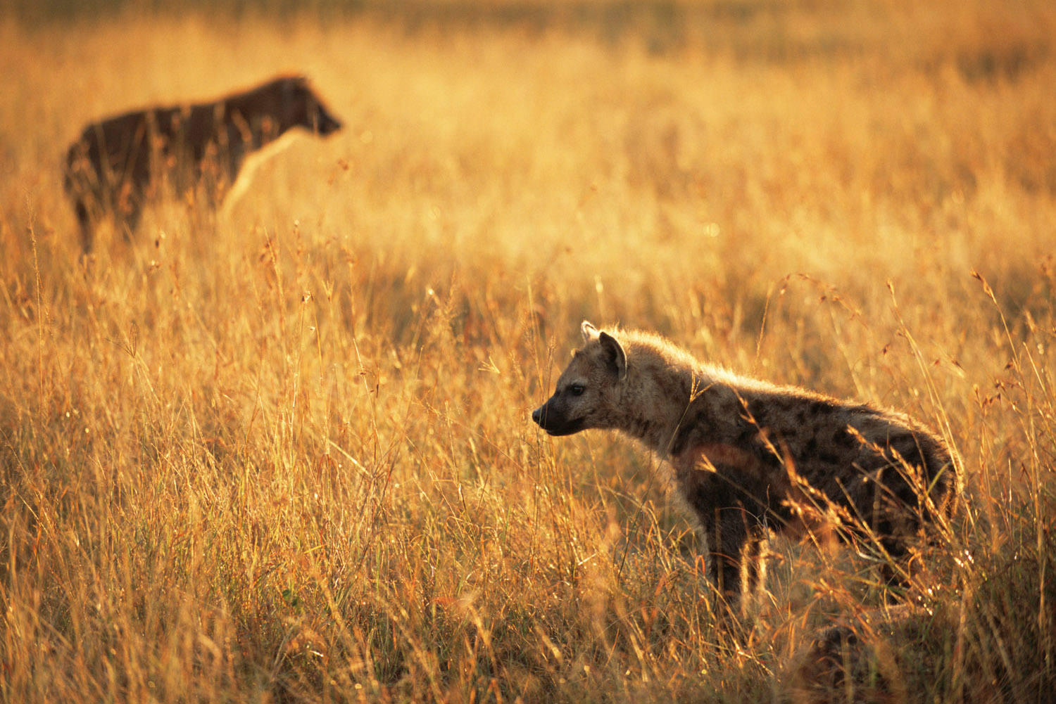 Spotted hyena cubs at dawn, Masai Mara National Reserve, Kenya