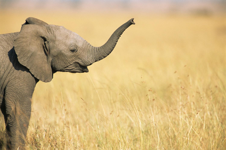 African elephant baby extending trunk, Masai Mara National Reserve, Kenya