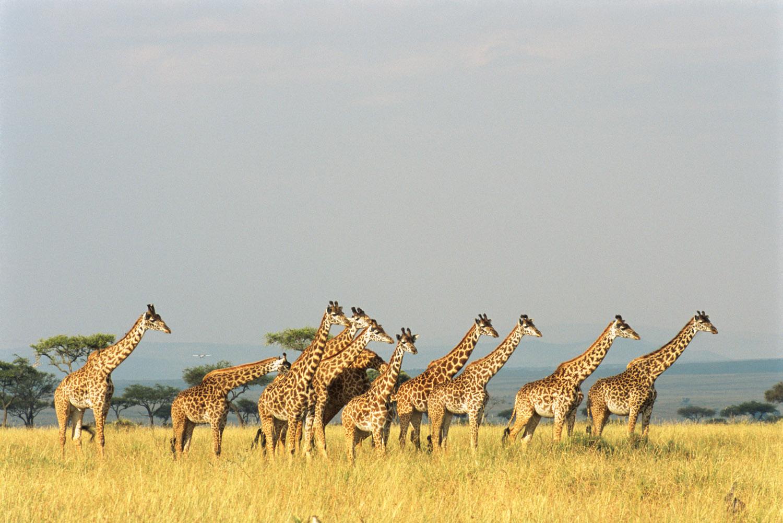 Maasai giraffe family, Masai Mara National Reserve, Kenya