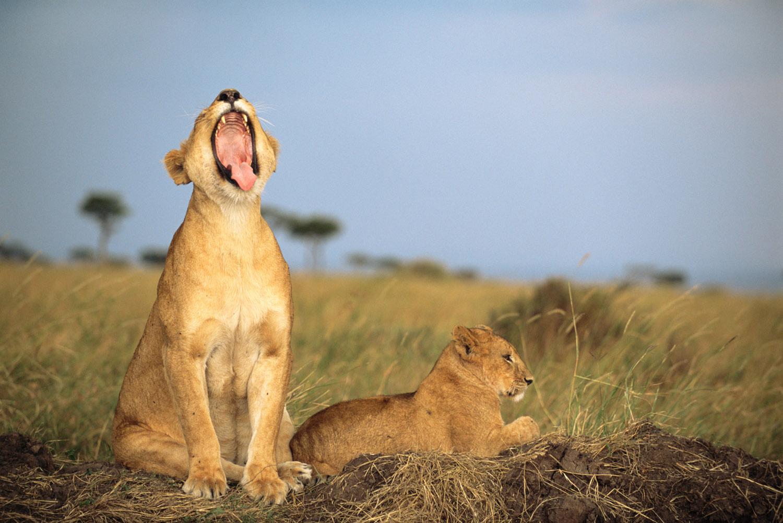 Lioness yawning with cub, Masai Mara National Reserve, Kenya
