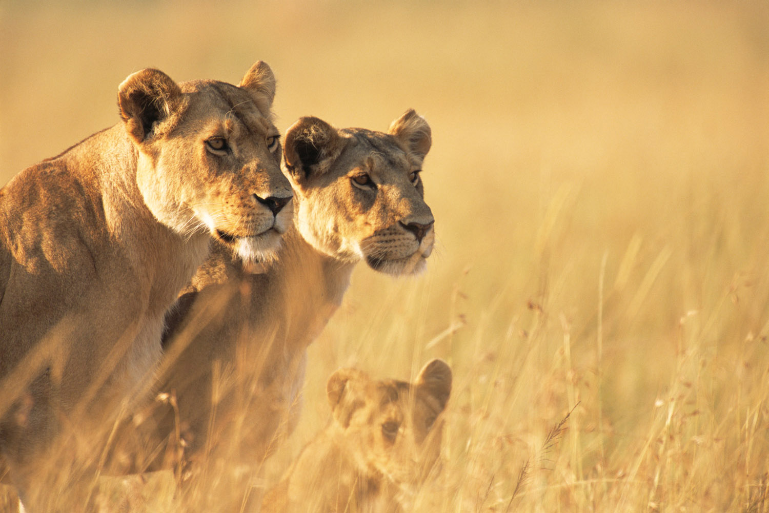 Lionesses on alert, Masai Mara National Reserve, Kenya