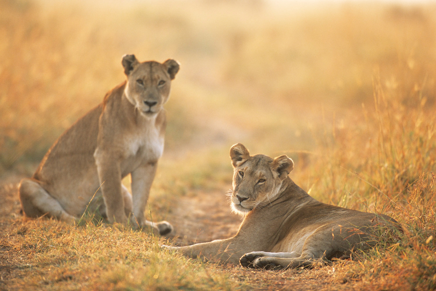 Lionesses at dawn, Masai Mara National Reserve, Kenya