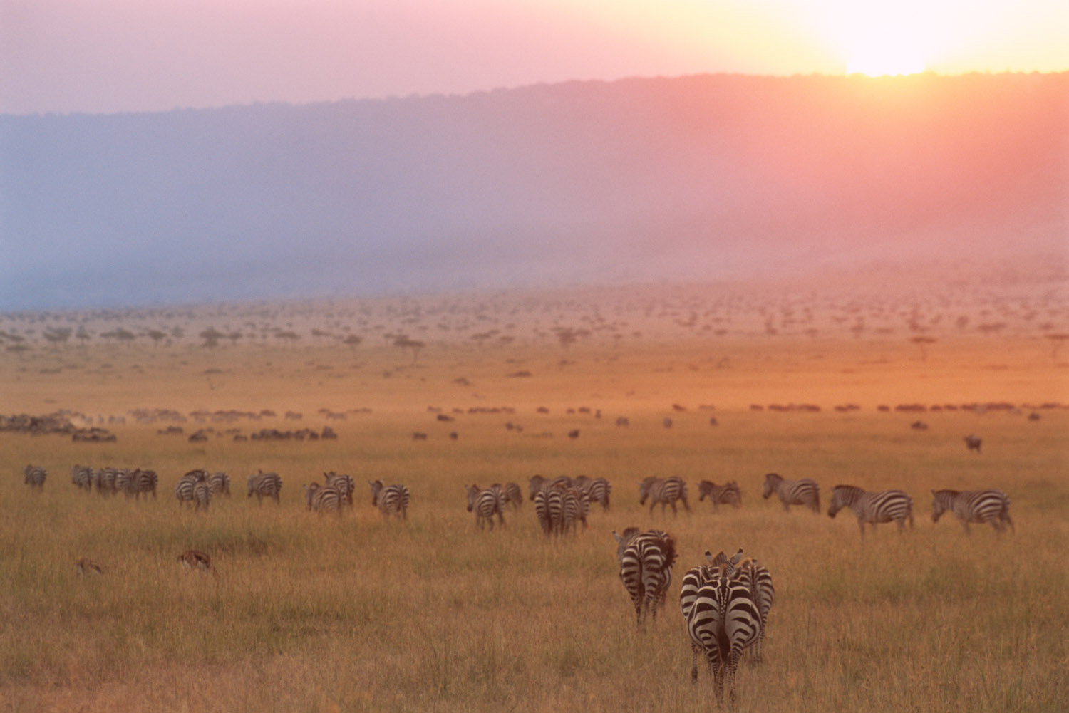 Common zebras and wildebeest at sunset, Masai Mara National Reserve, Kenya