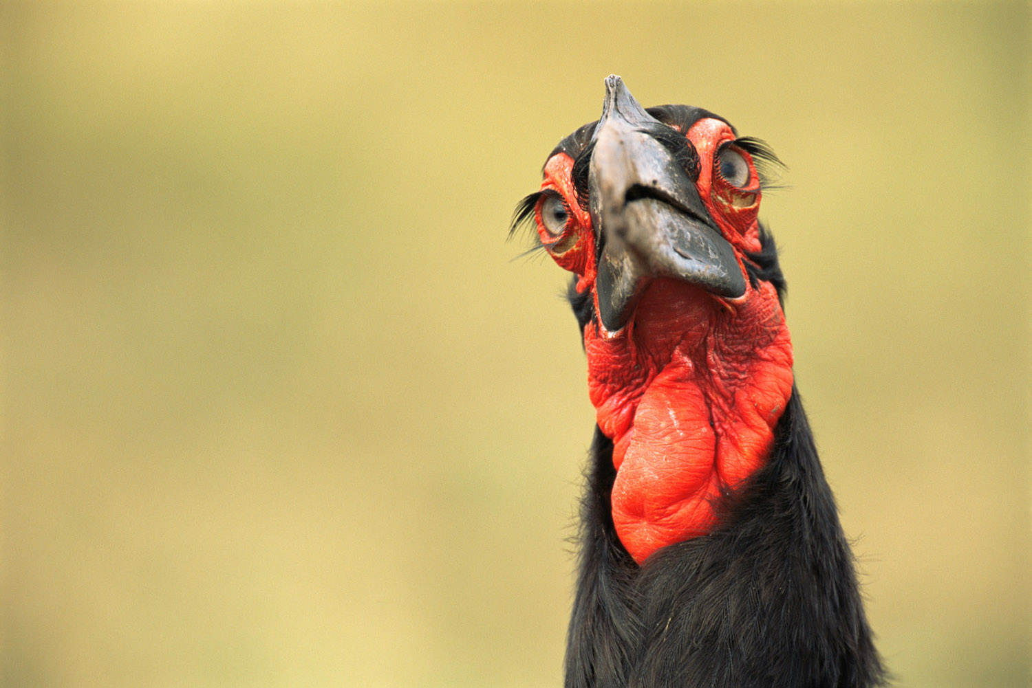 Southern ground-hornbill portrait, Masai Mara National Reserve, Kenya