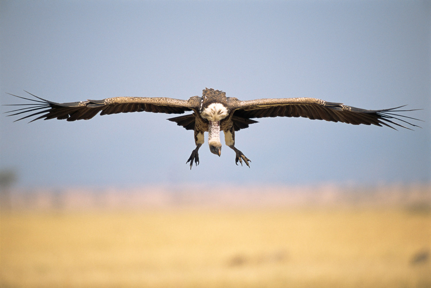 Ruppell's griffon vulture in flight, Masai Mara National Reserve, Kenya