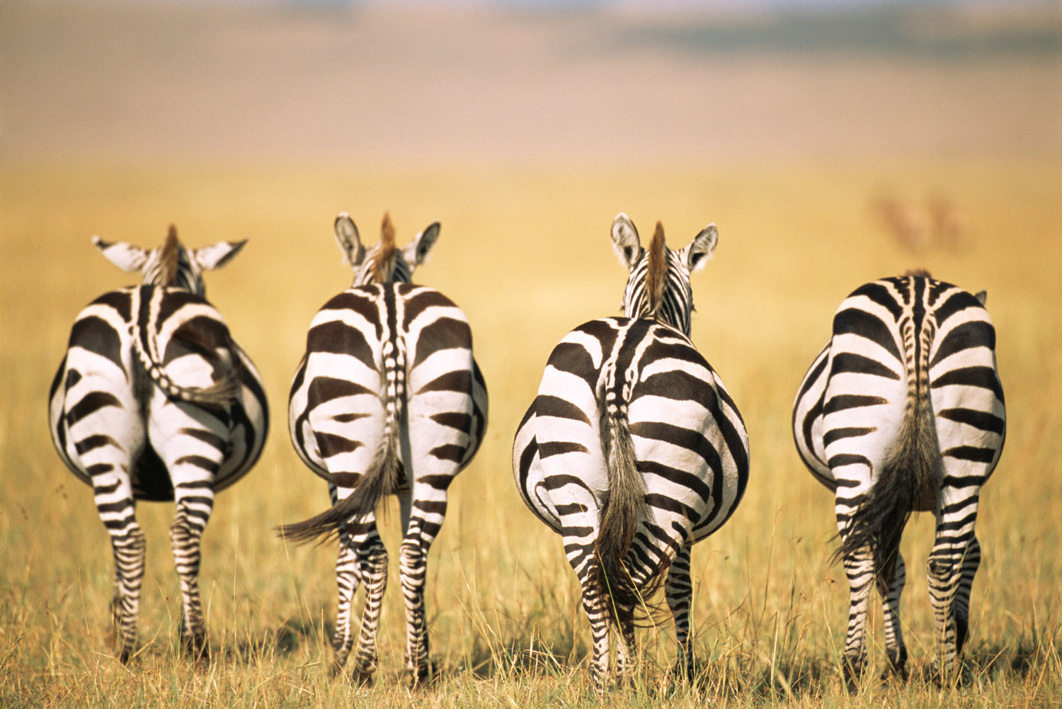 Common zebra behinds, Masai Mara National Reserve, Kenya