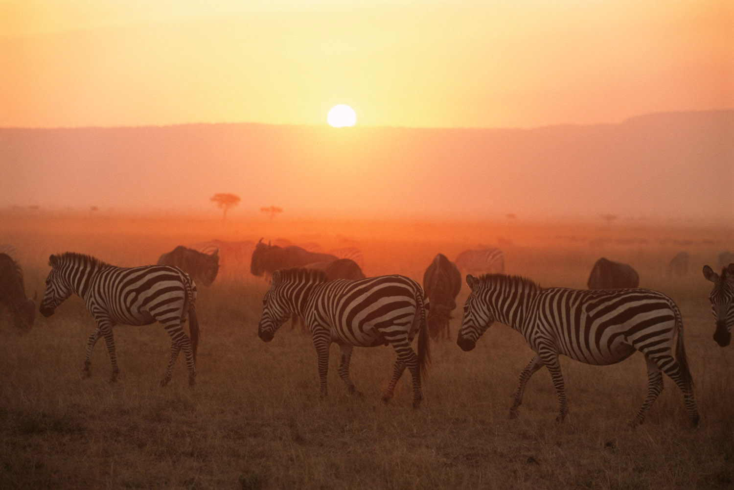 Common zebras on the move at sunset with wildebeest, Masai Mara National Reserve, Kenya