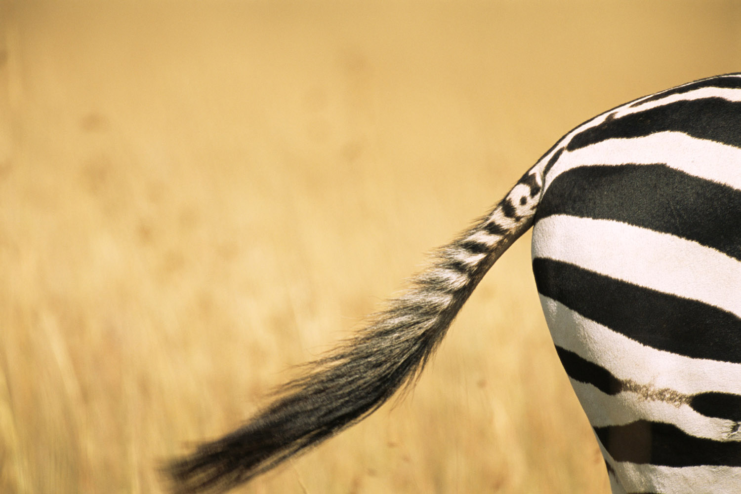 Common zebra behind and tail, Masai Mara National Reserve, Kenya