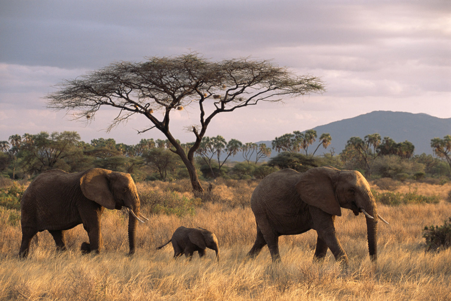 African elephant family on the move at dusk and acacia tree, Samburu National Reserve, Kenya